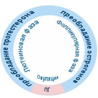 Выработка половых гормонов по фазам менструального цикла